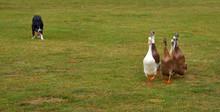 Border Collie Dog Herding Indi...