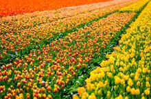 Lisse, Netherlands. Tulips Field In Bloom During Springtime.