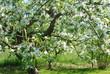 jabłoń kwitnie lato wiosna białe kwiaty