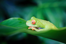 Wild Red Eyed Tree Frog Close Up, Tortuguero, Costa Rica, Central America