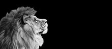 African Lion Profile Portrait ...