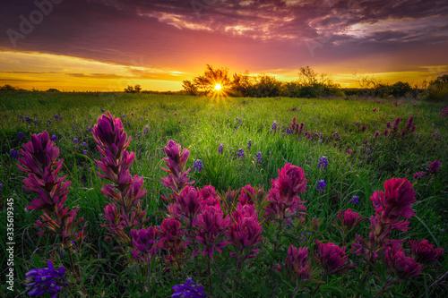 Texas Wildflowers at Sunrise #335619345
