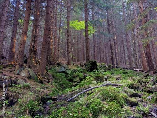 Fototapeta Pine forest in Karkonosze in spring obraz
