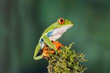 Red-eyed Treefrog Agalychnis C...