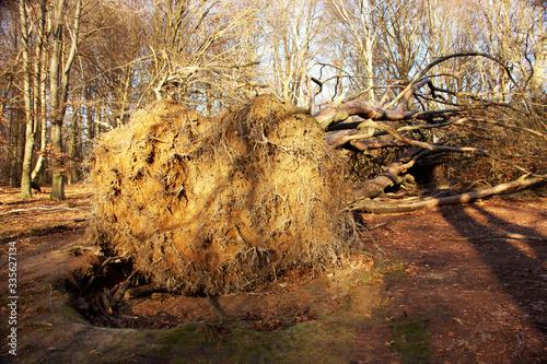 Obraz na plátně Root system of an overturned multi-stemmed beech in the Sababurg primeval forest