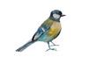 Blue tit bird isolated on white background. Original watercolor illustration of european titmouse bird