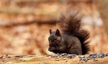 Eastern Gray Squirrel, Black ...