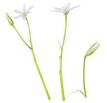 White Wild Flowers Isolated On White Background.  Ornithogalum Flower
