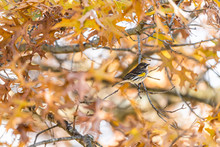 Single Yellow-rumped Warbler B...