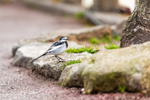 Takayama, Japan In Gifu Prefecture With Japanese Wagtail Bird On Street Near Miyagawa River In Spring By Green Grass And Tree Trunk