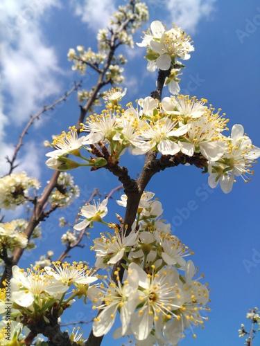 blooming cherry tree #335660767