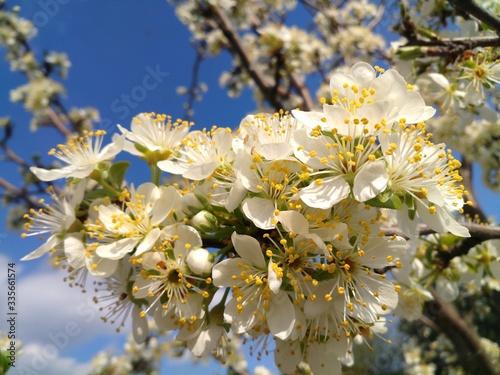 apple tree blossom #335661574