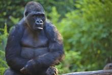 Black Big Gorilla Sitting With...