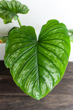 Philodendron Mamei Beautiful H...