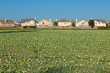Farmer's Fields With Crops By Encroaching Housing Development Subdivision In Santa Paula, CA
