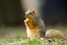 Fox Squirrel Sciurus Niger