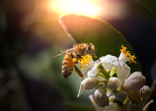 Macro Image Of A Bee On A Flower In The Sunlight During The Spring. There Is Pollen On The Bee Legs.
