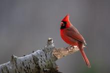 Male Northern Cardinal On Bran...