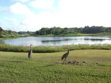 Sandhill Cranes Florida