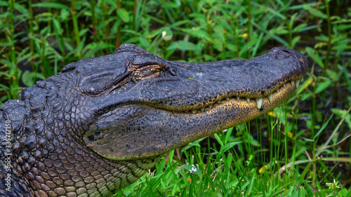 Big alligator in the swamps of Louisiana Canvas Print