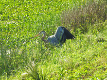 Great Blue Heron Finds Nesting Matieral In The Orlando Wetlands, Florida