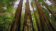 Redwood Forest - The Giant Trees In Calfornia