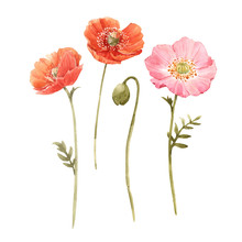 Beautiful Watercolor Floral Set With Red And Pink Poppy Flowers. Stock Illustration.