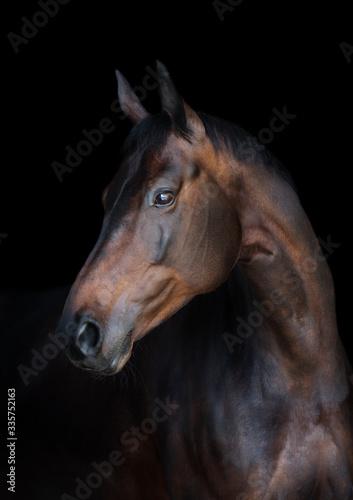 Fototapeta Portrait of a bay horse obraz