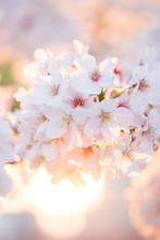 満開の桜の花と綺麗な...