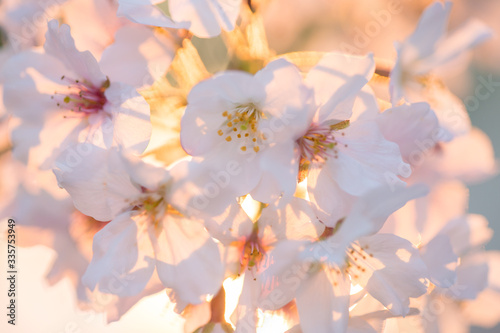 Fototapety, obrazy: 満開の桜の花と綺麗な夕日