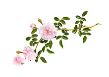 Twig Of Garden Rose Flowers, B...
