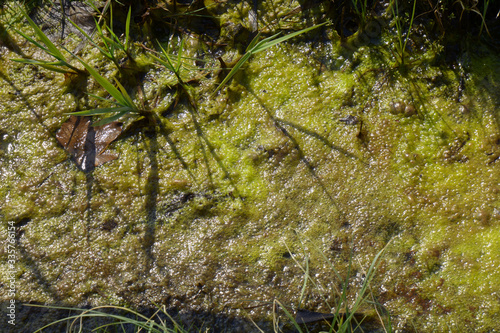 algae slime in stagnant tide water in spring sun, green algal bloom Canvas Print
