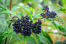 Elderberry Bush With Black Fruits And Green Leaves