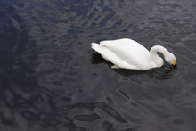 White Swan In Black Water