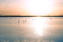 Group Of Flamingos On Their Migration Stop On The Pond During Sunset Hours