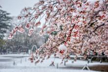 さくら 桜 雪 桜と雪 降る 春 花