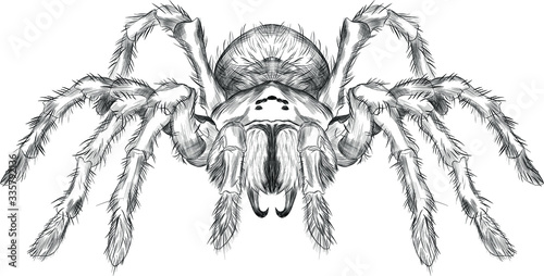 Fotografía tarantula spider black and white vector black and white coloring sketch scary Ha