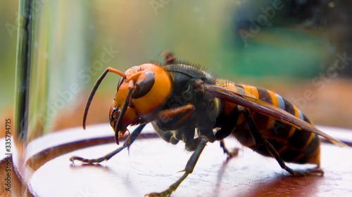 Cuadros en Lienzo Close up of giant hornet Vespa mandarinia japonica