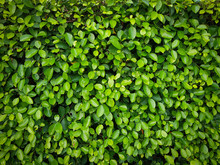 Natural Green Leaf Wall. The A...