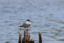 Common Tern Perched On A Wooden Bridge Piling.