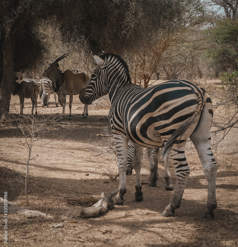 Zebra herd and Gnus