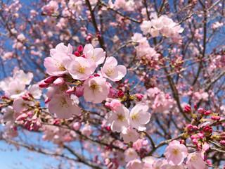 Fototapeta Drzewa 桜(ジンダイアケボノ)