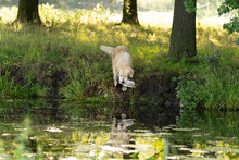 Yellow Labrador Fetching A Shot Duck On A Hunting Dog Test Swimming Across A Water