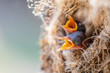 Image of baby birds are waiting for the mother to feed in the bird's nest on nature background. Bird. Animals.