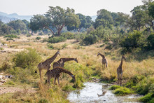 Group Of Giraffes Drinking In Waterhole In Kruger National Park, South Africa ; Specie Giraffa Camelopardalis Family Of Giraffidae