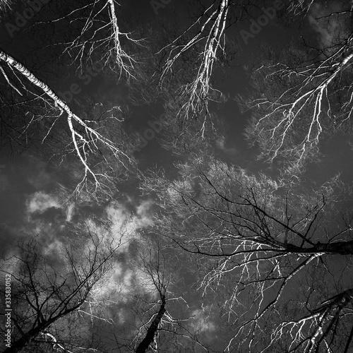 Czarno białe brzozy na tle nieba - 335830152