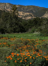 Flowering California Poppies In A Field In Front Of The  Santa Ynez Mountains In Santa Barbara,  Ca