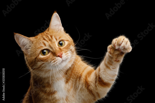Obraz na plátne Portrait of Playful Ginger Cat Raising up Paw and Looking in Camera on Isolated