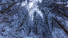 Walking In A Snow Forest, Squa...