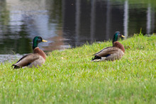Two Mallard Ducks